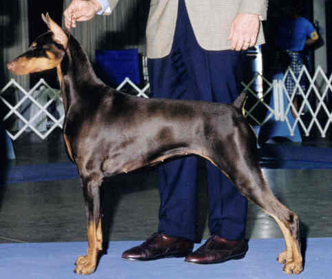 successful doberman puppy as adult