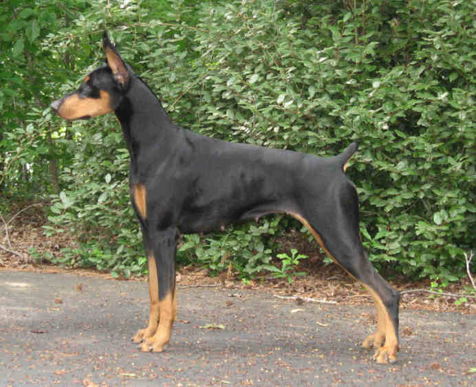 doberman puppy champion