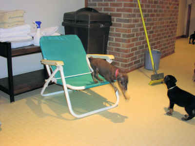 doberman puppies at play