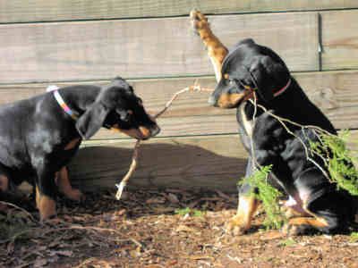 doberman puppies with proper temperament