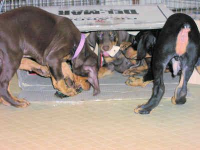 doberman puppies play