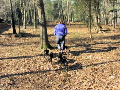 adventures with doberman puppies
