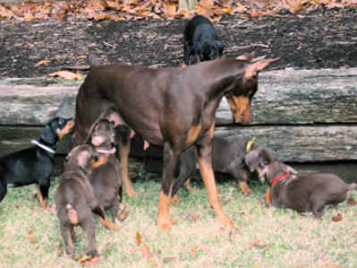 champion doberman and her puppies