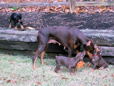 proper dog socializing doberman puppies
