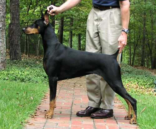 long living doberman champion