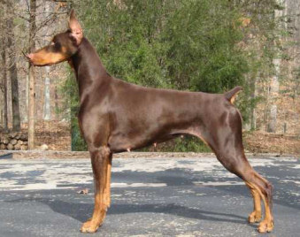 doberman champion